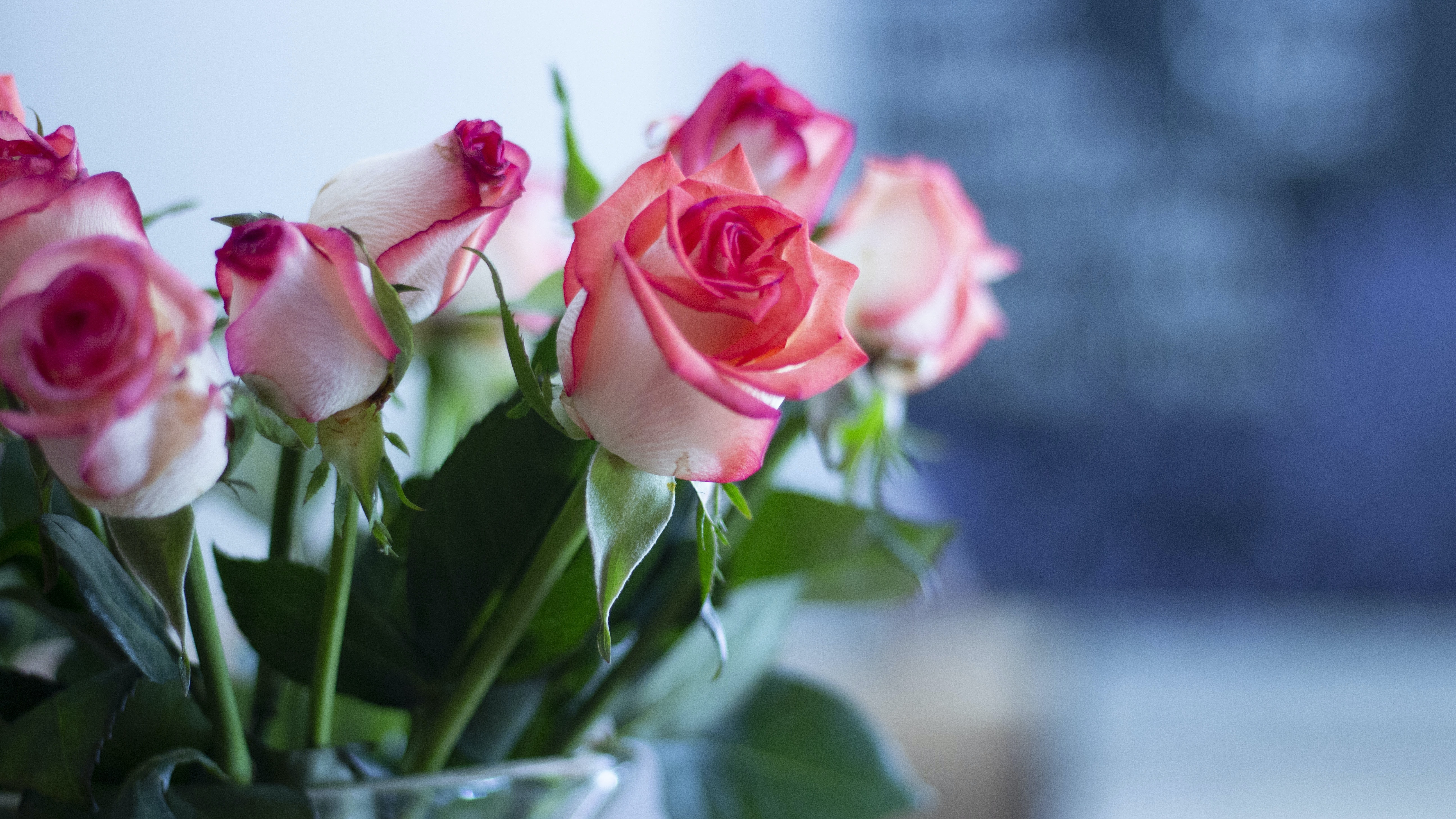 shallow focus of pink roses