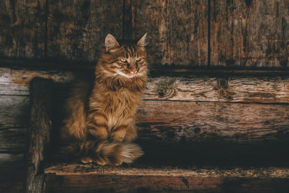 brown Himalayan cat sitting on bench