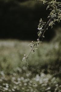 Wild rose hangs