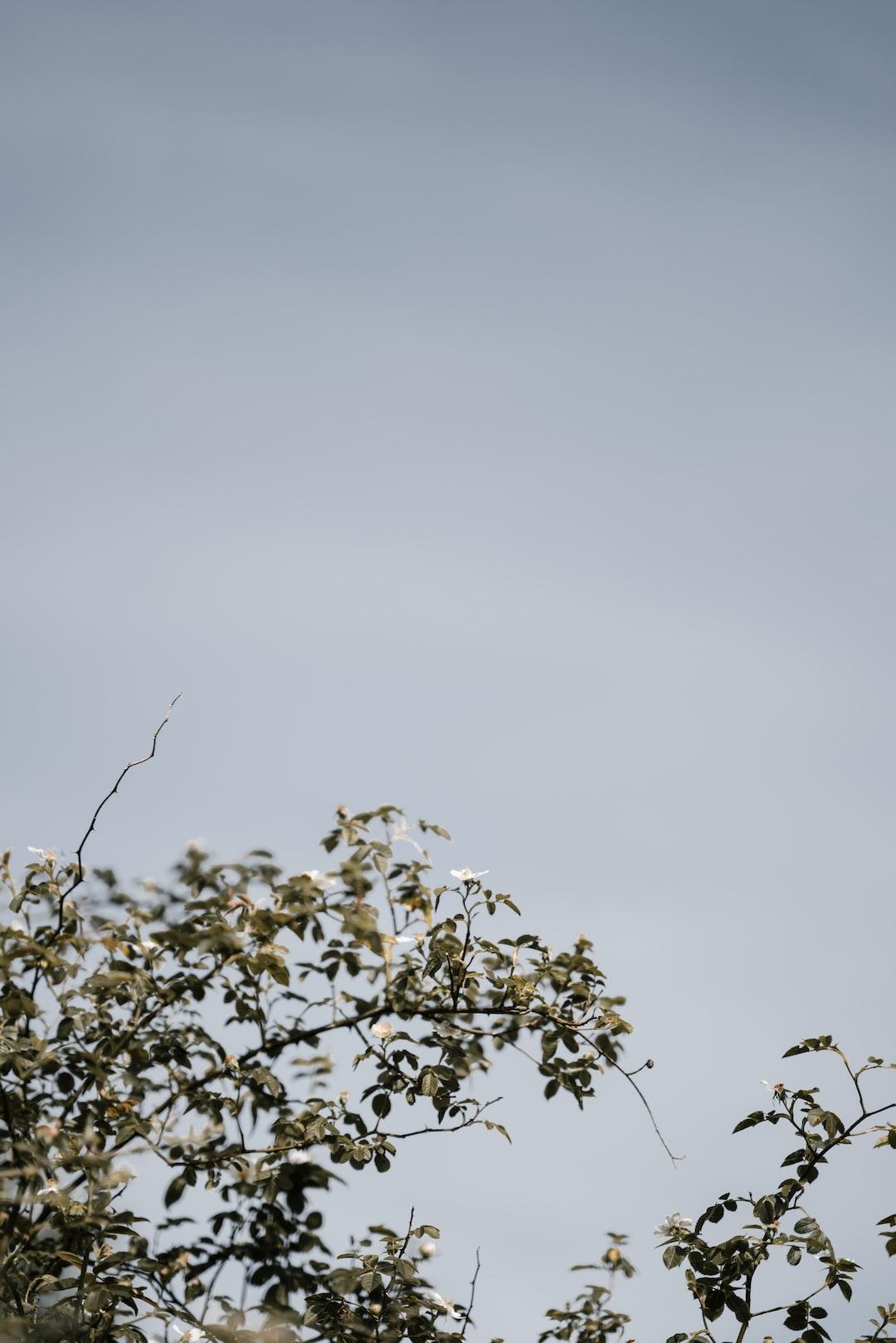 Wild rose bush and blue sky