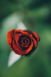 selective focus photography of red rose flower