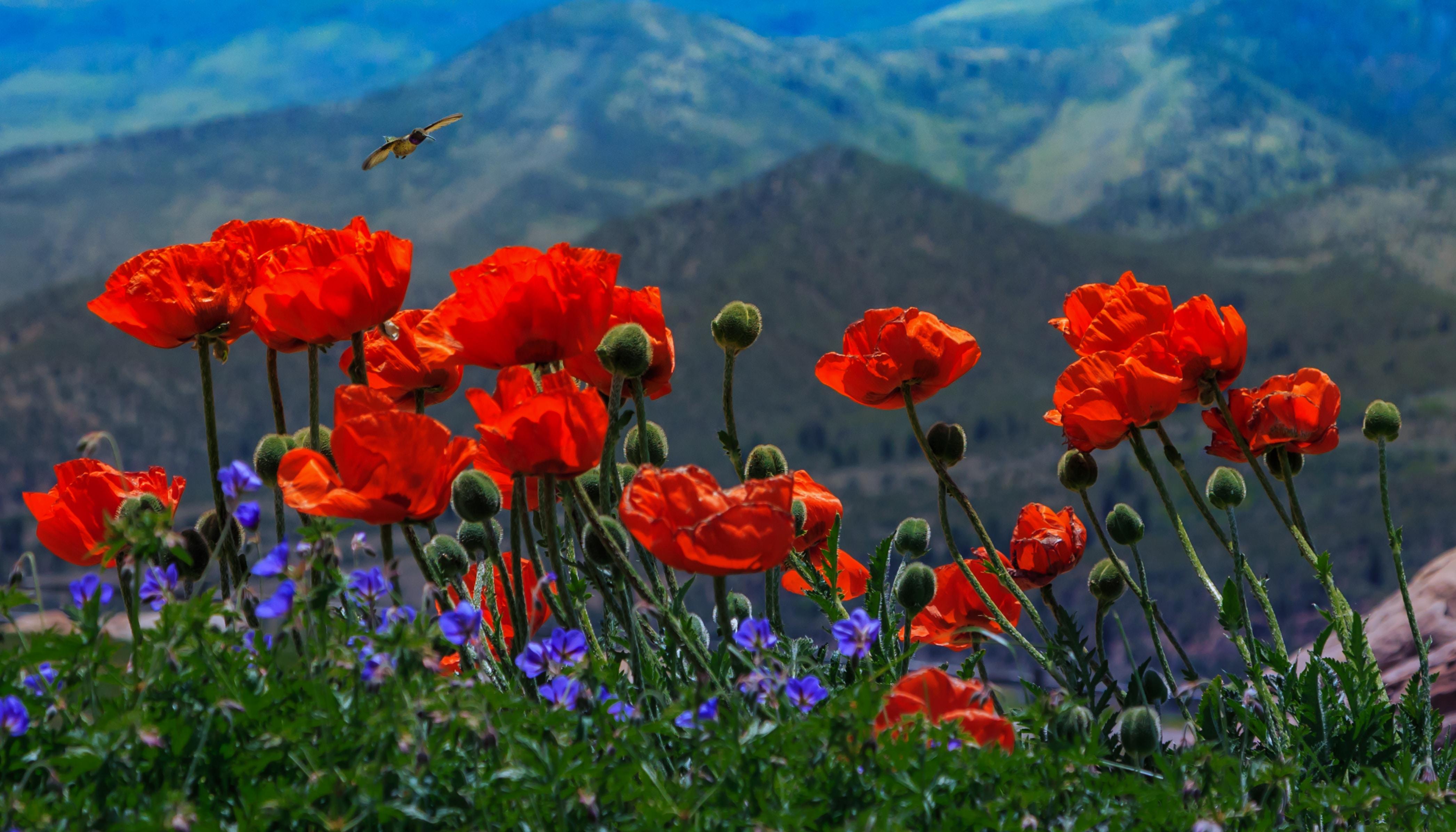 bed of poppy flowers