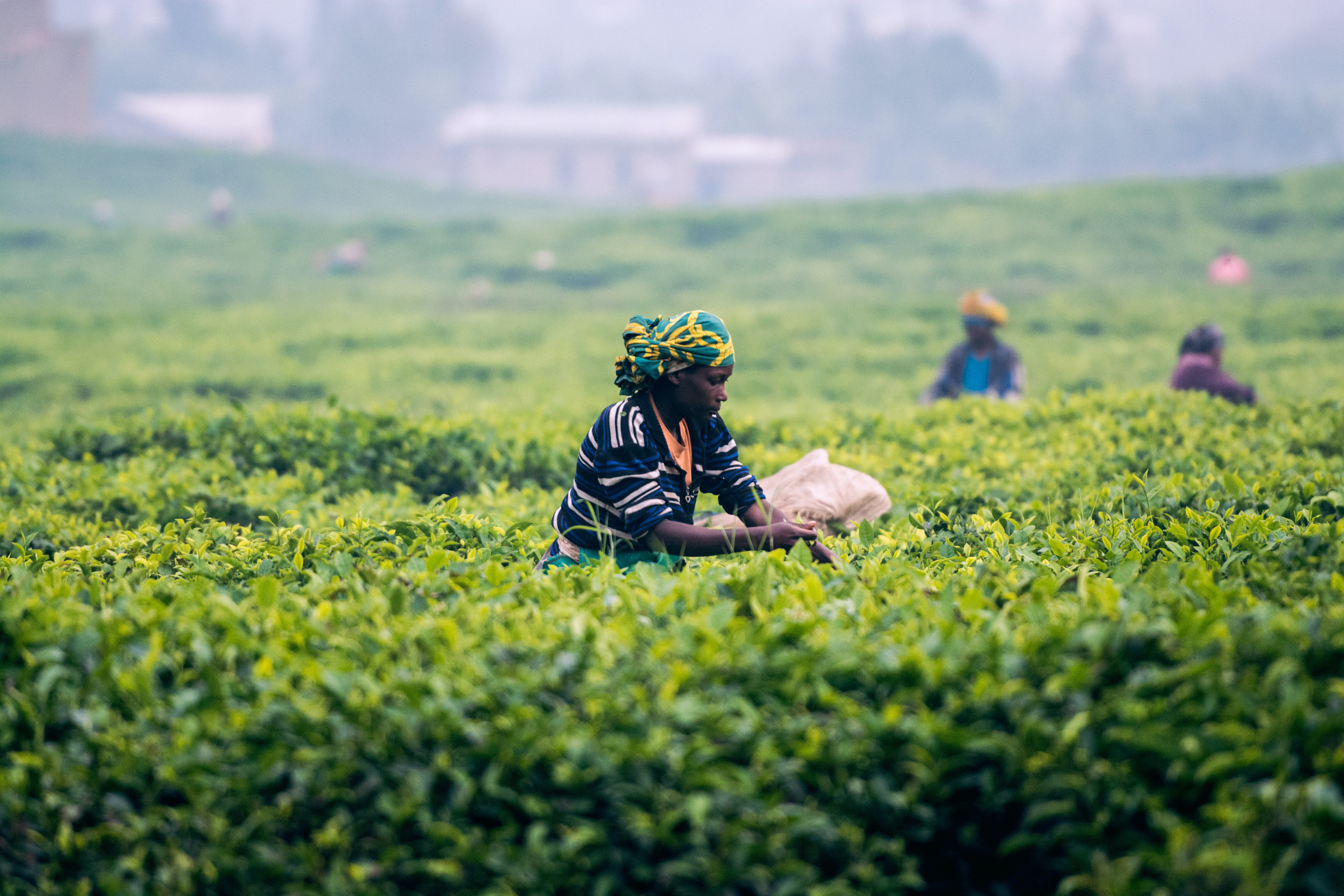 person standing on tea plant field