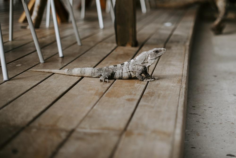 gray lizard on brown wooden floor