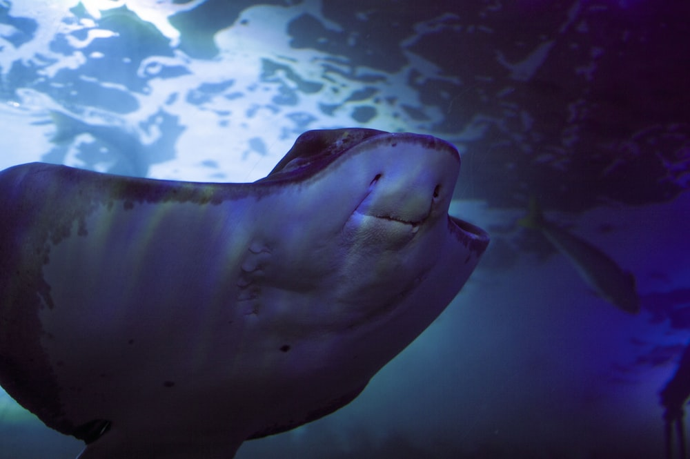 photo of gray stingray under water
