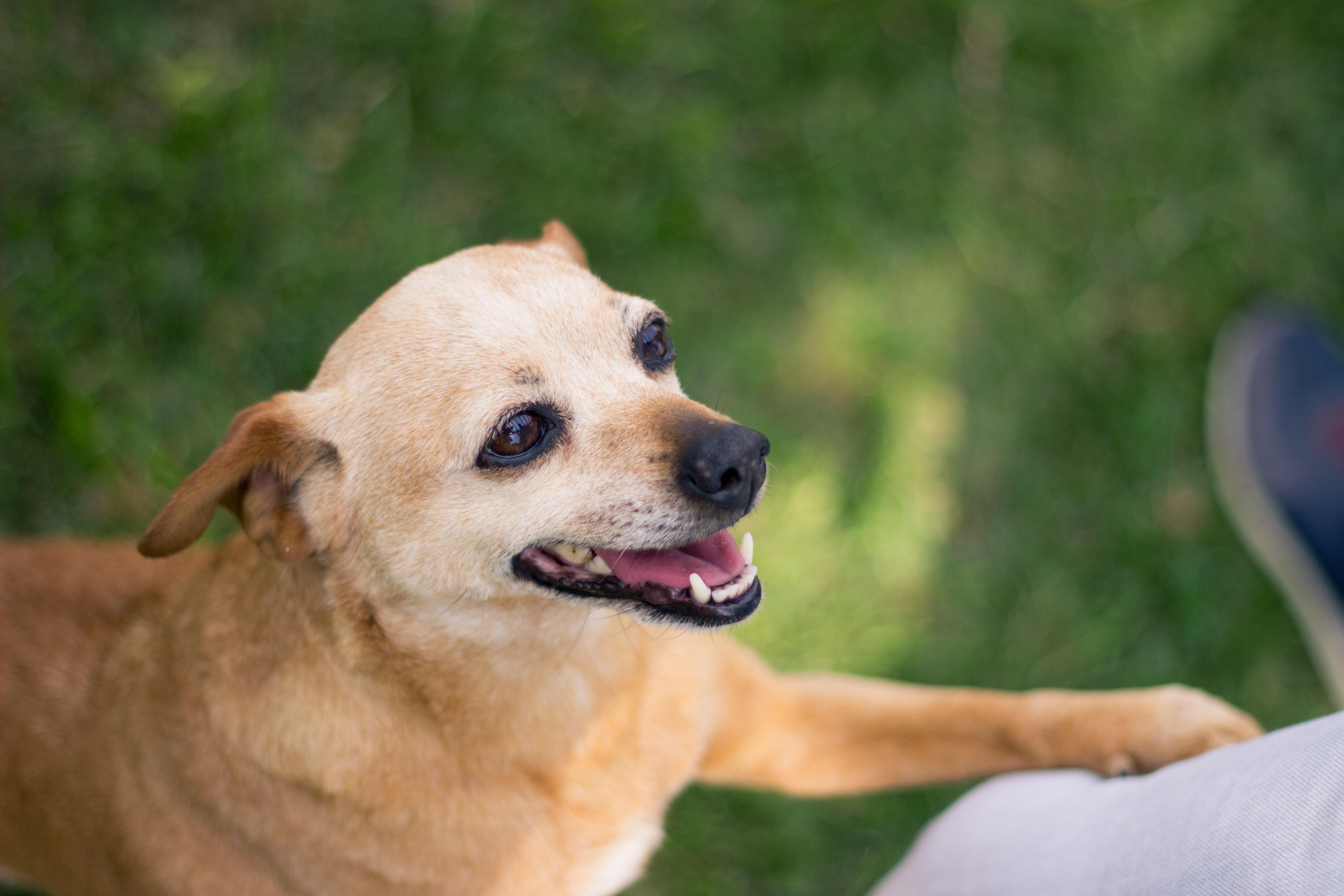 selective focus photo of short-coated tan dog