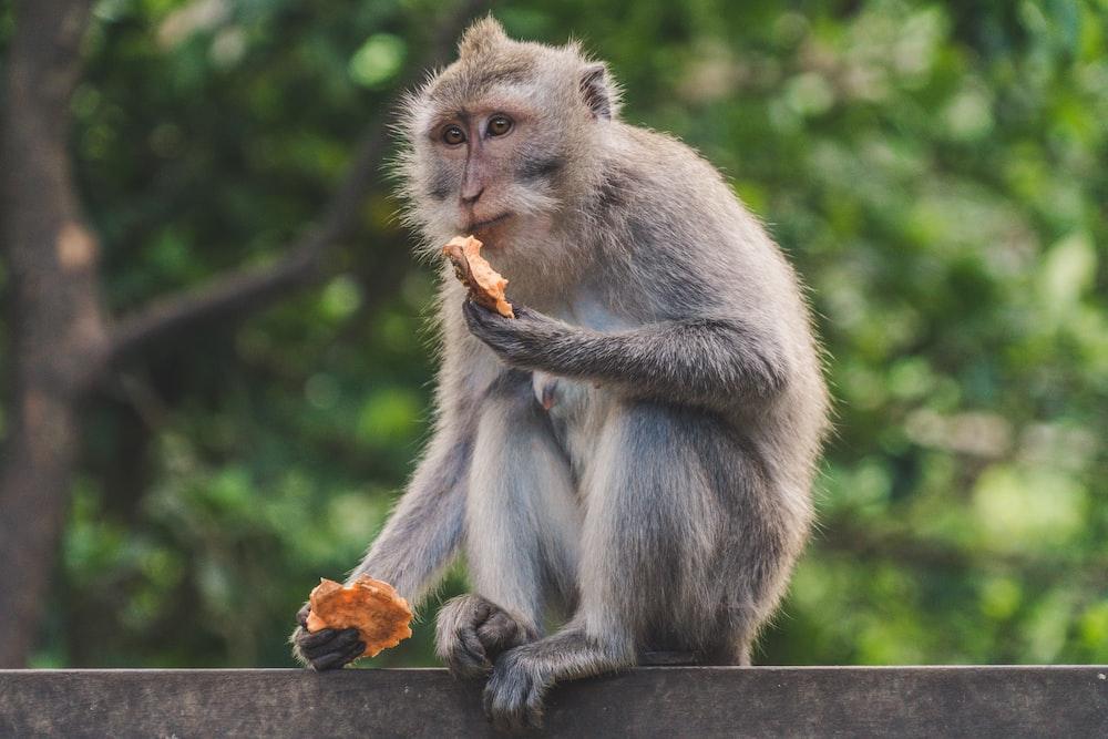 gray monkey sitting on wood beam