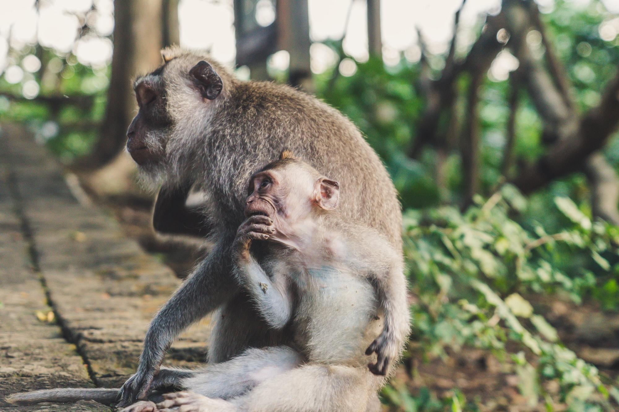 Monkey mum and son in the monkey forest, Ubud