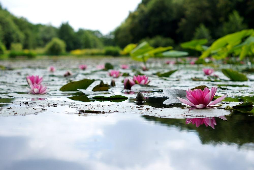 shallow focus photography of pink lotus