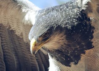 closeup of falcon
