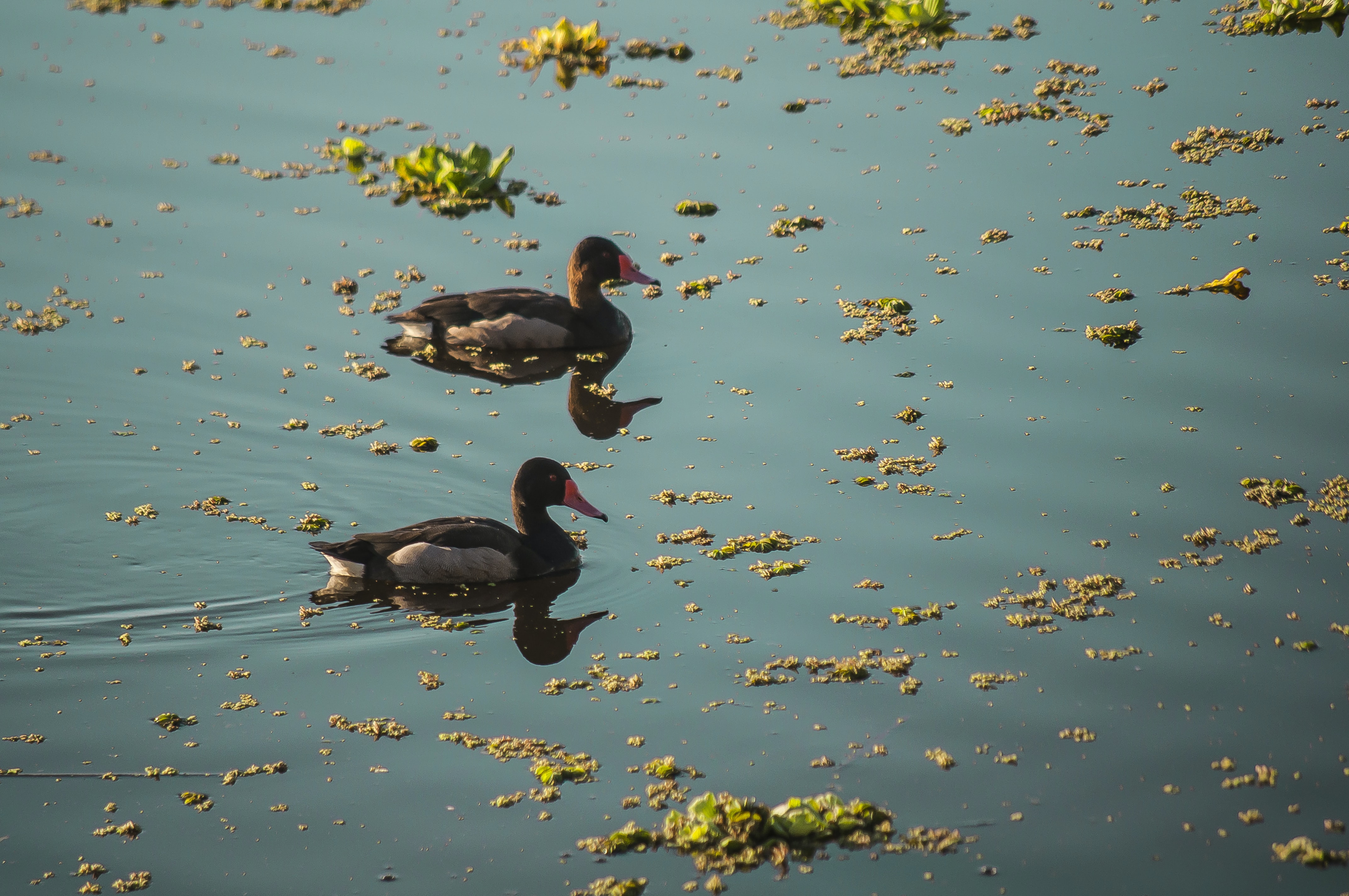 two ducks on body of water
