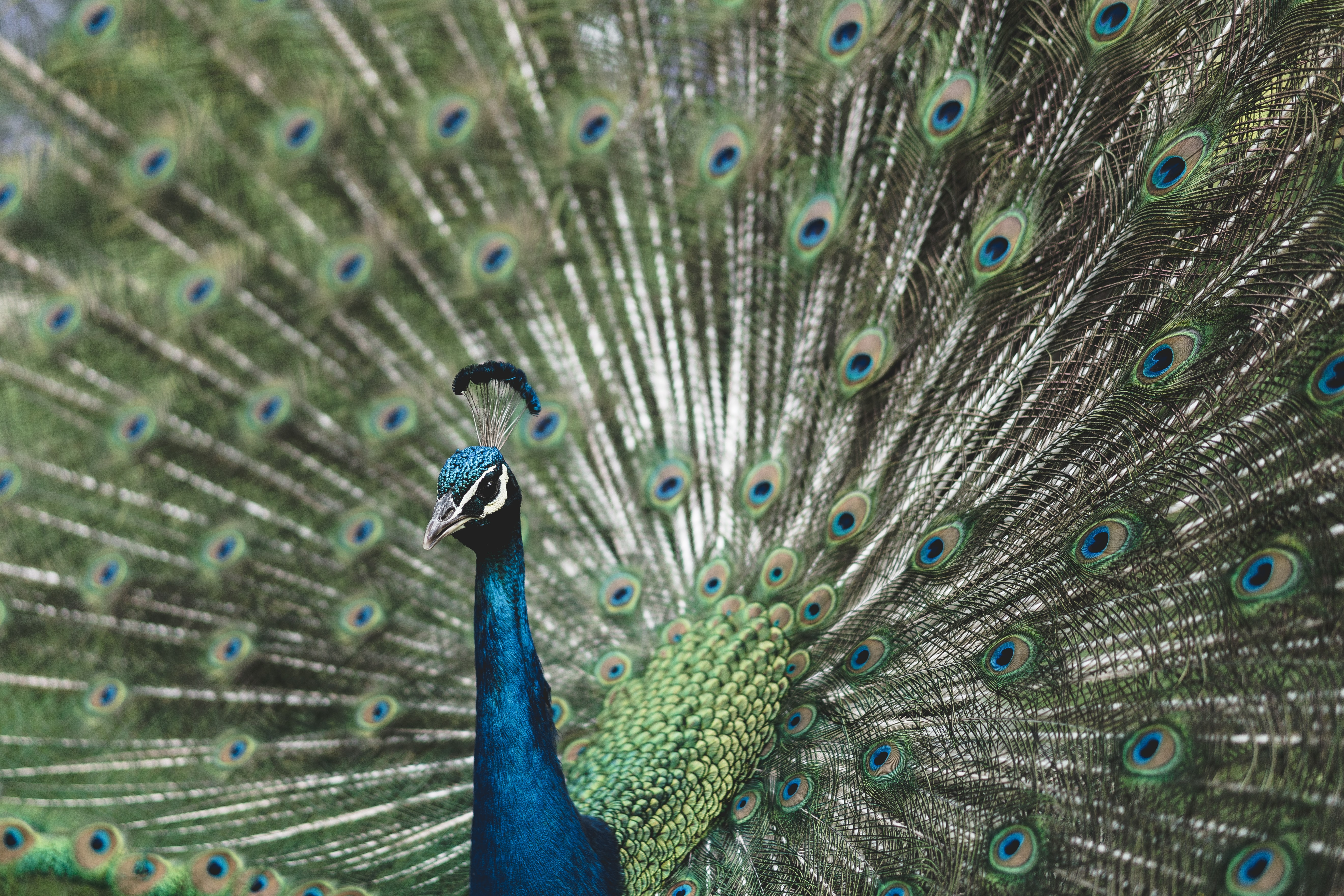 shallow focus photography of blue Peafowl