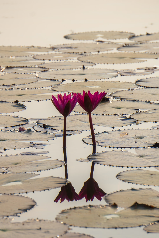 two purple lotus flowers on body of water