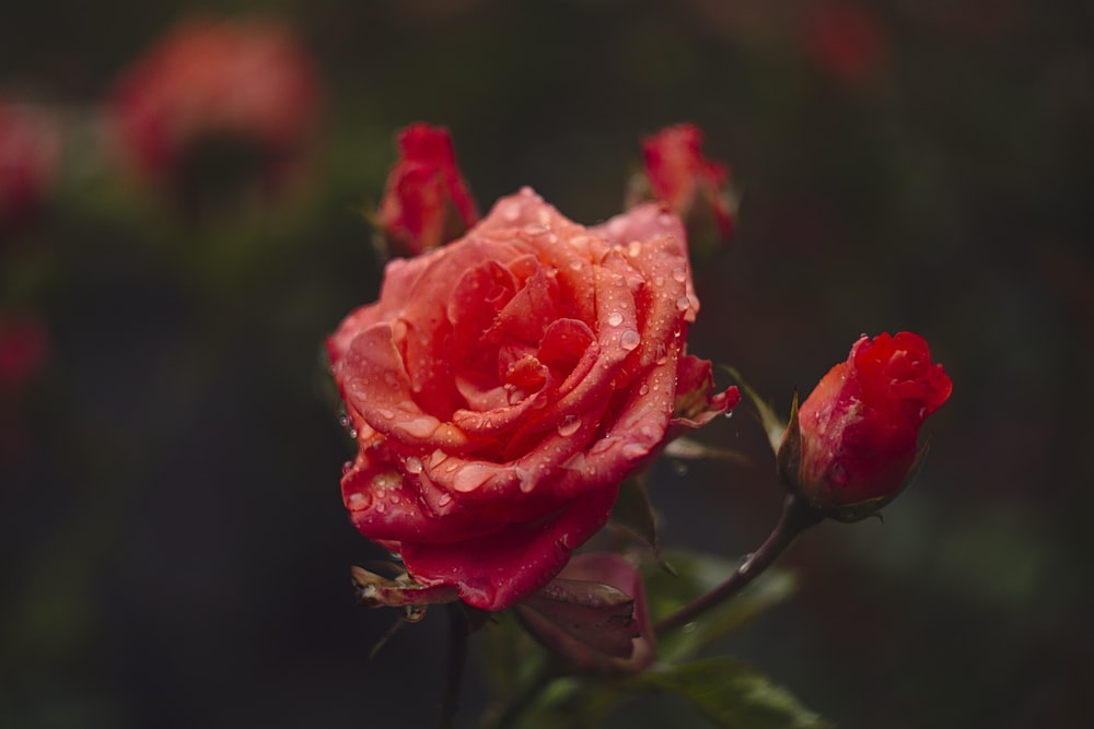 red rose flower with water dew