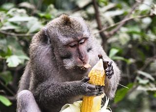 monkey holding corn