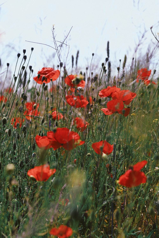 poppy flowers during daytime