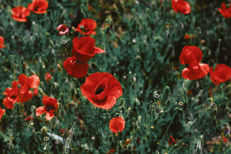 shift-tilt lens photography of red flowers
