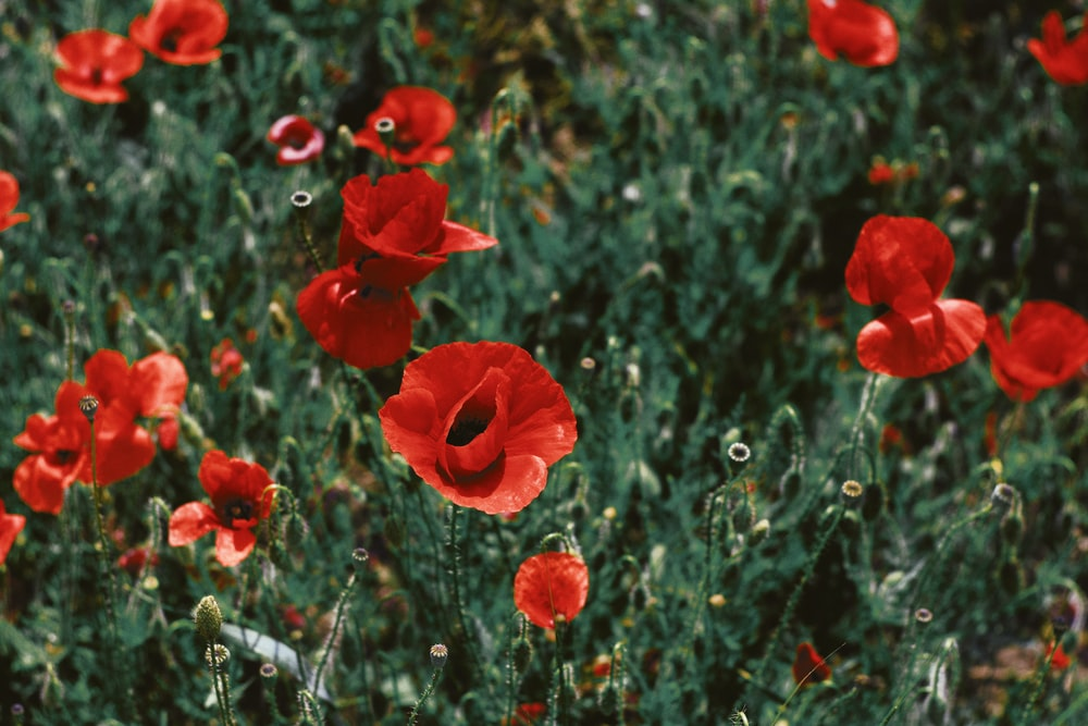 Poppy pictures download free images on unsplash shift tilt lens photography of red flowers mightylinksfo