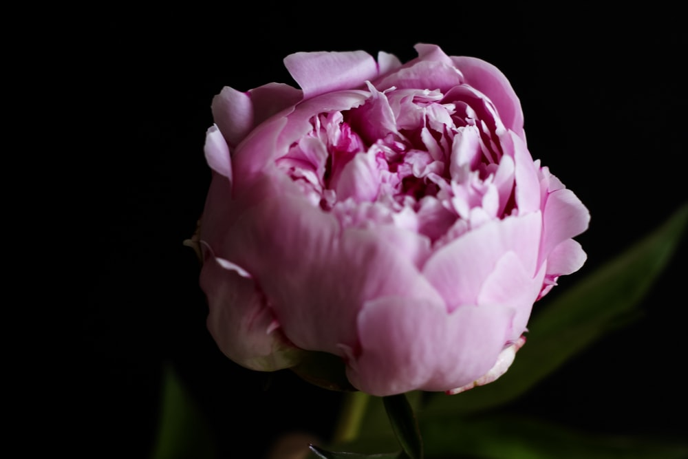 Flowers with black background 100 best free black flower petal closeup photo of pink peony flower mightylinksfo