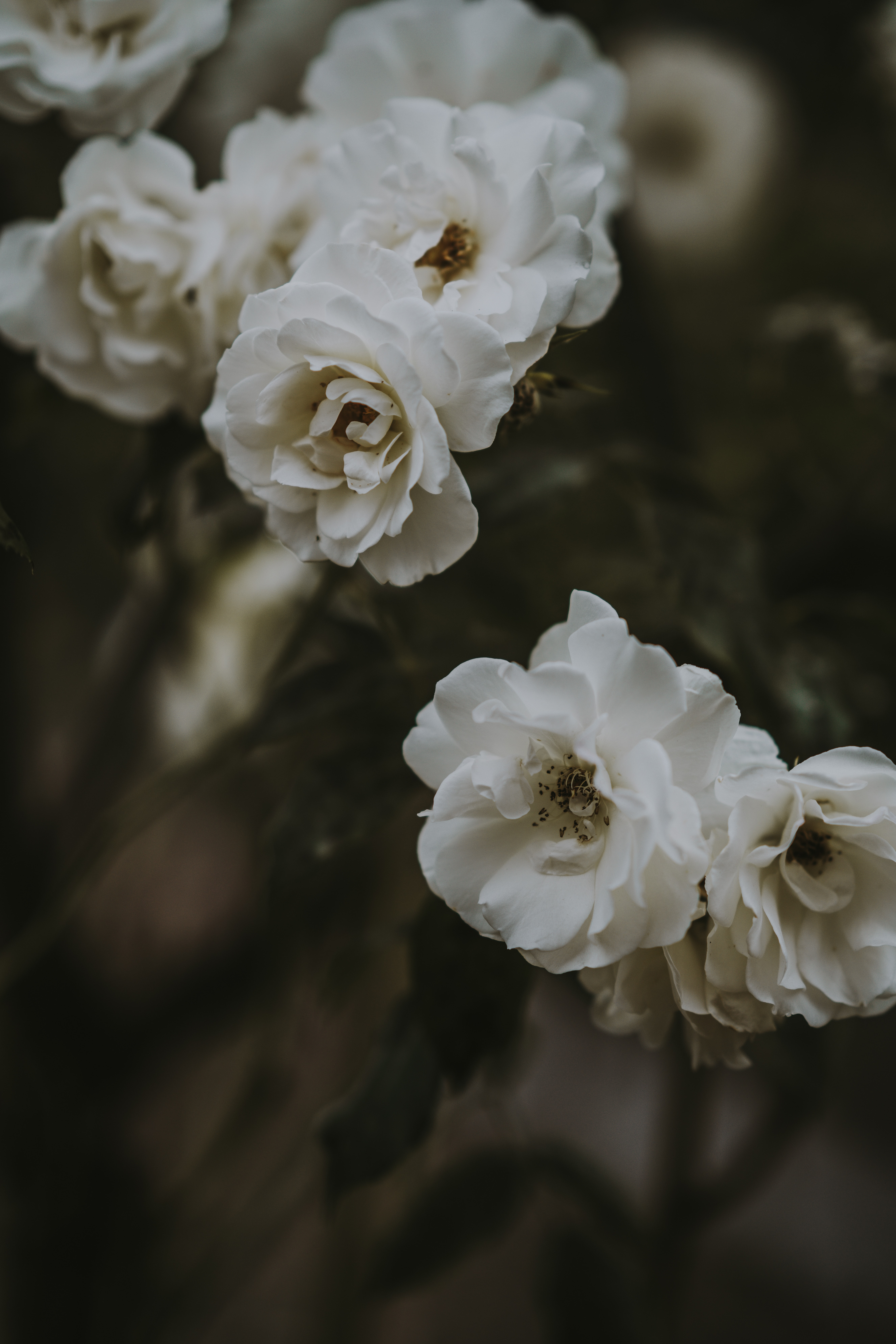 closeup photo of white petaled flowers