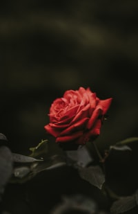closeup photo of red rose flower