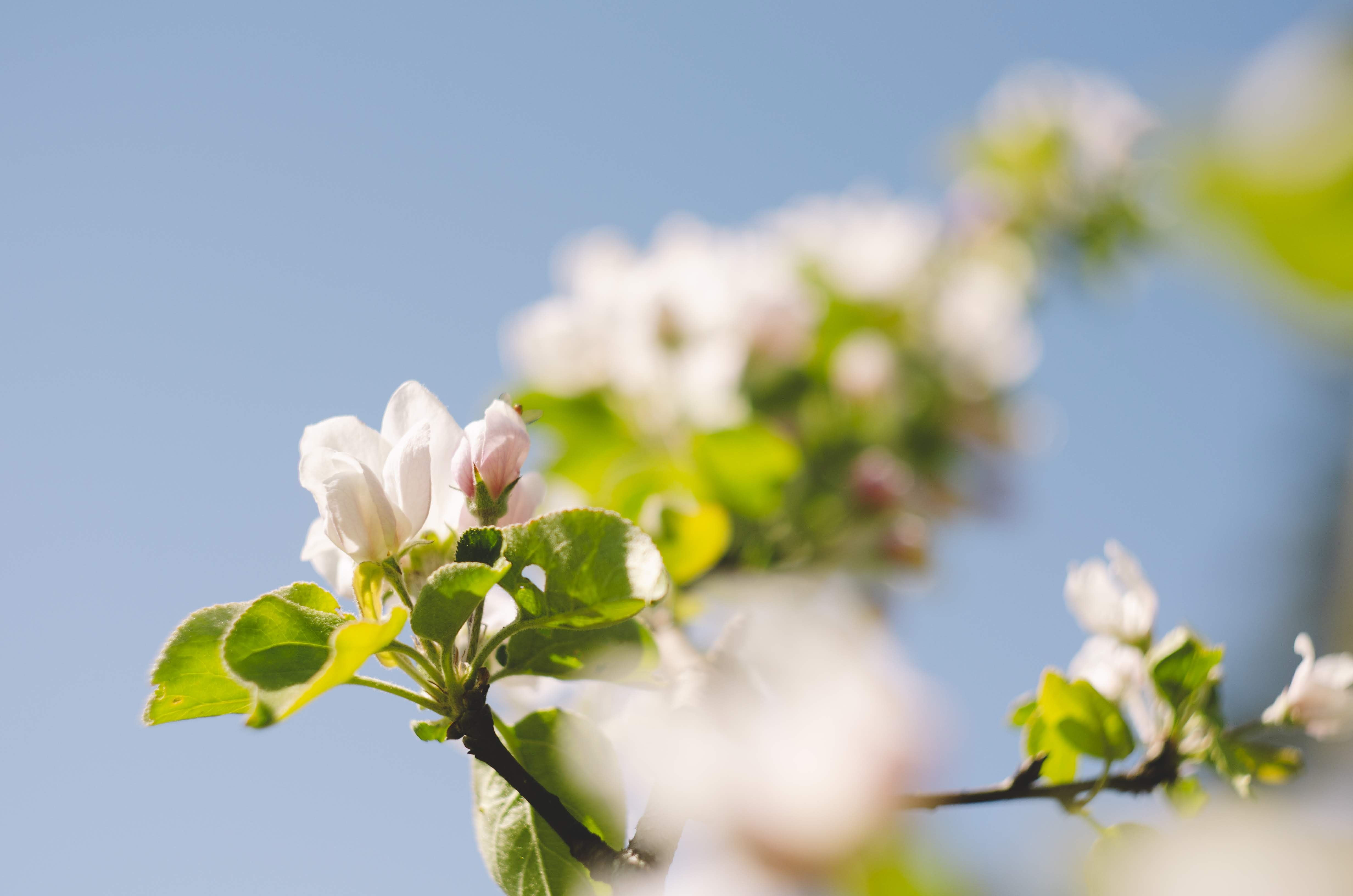 selective focus photography of white petaled flowers under clear blue sky
