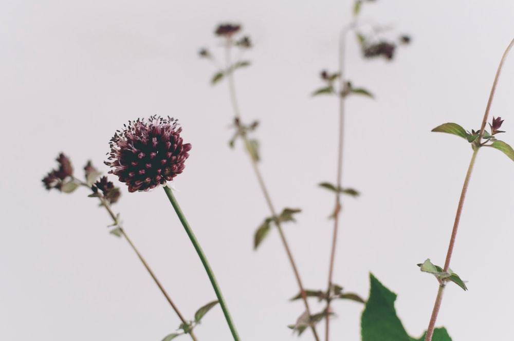 close up photography of maroon petaled flowers