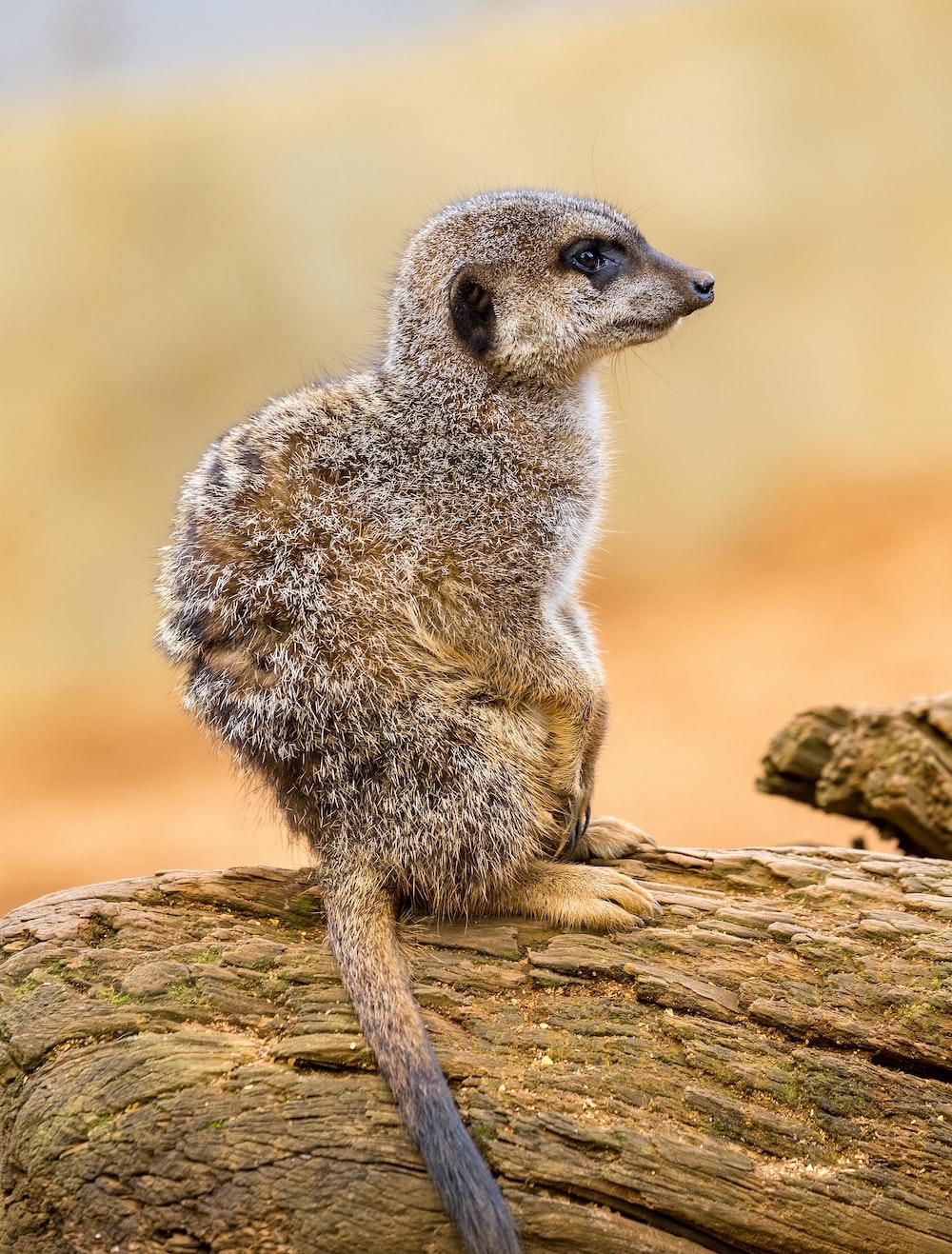 brown meerkat standing on wooden log