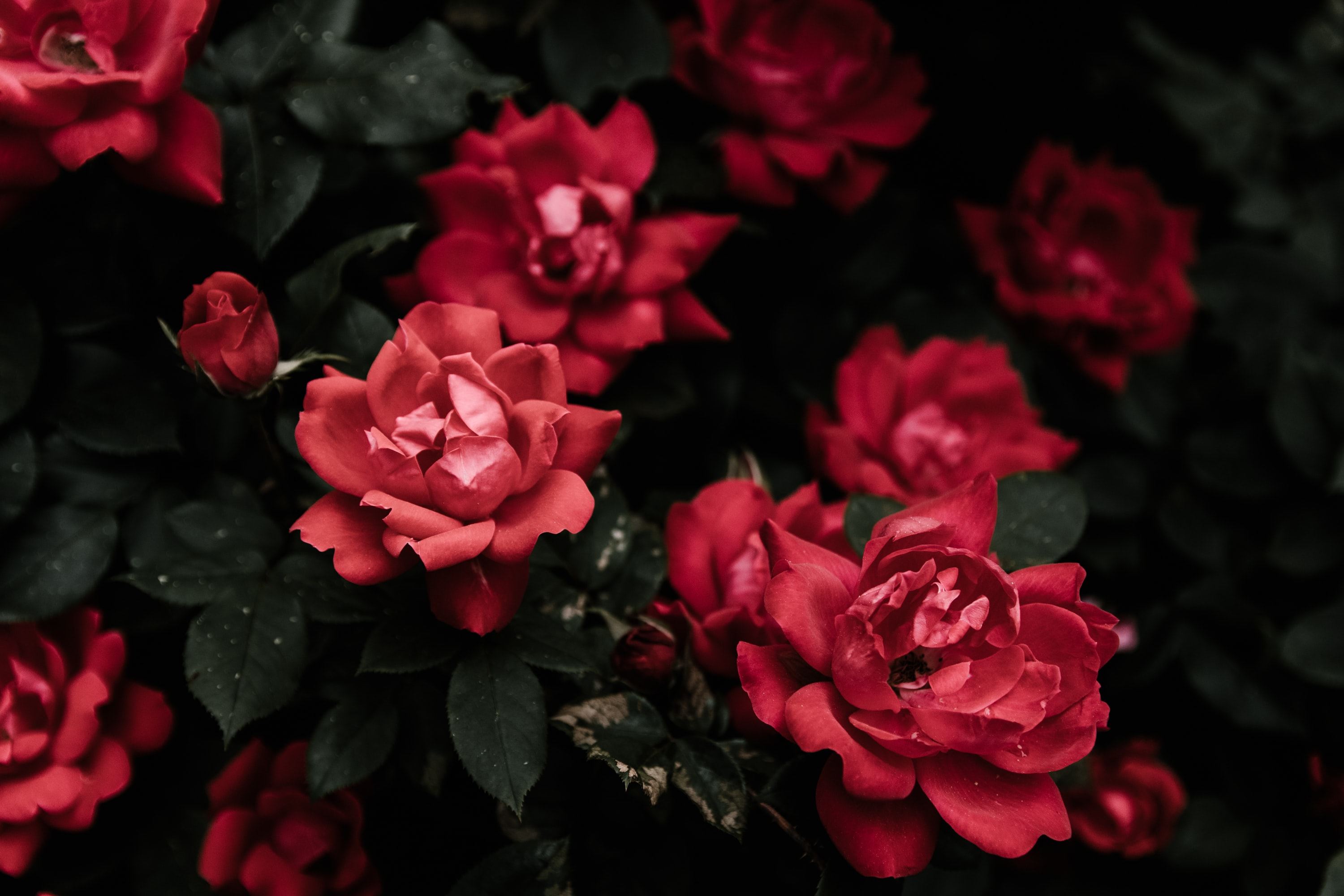 closeup photo of red petaled flowers