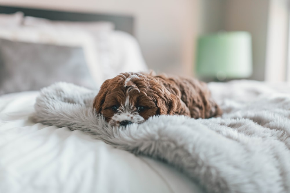 brown puppy on bed