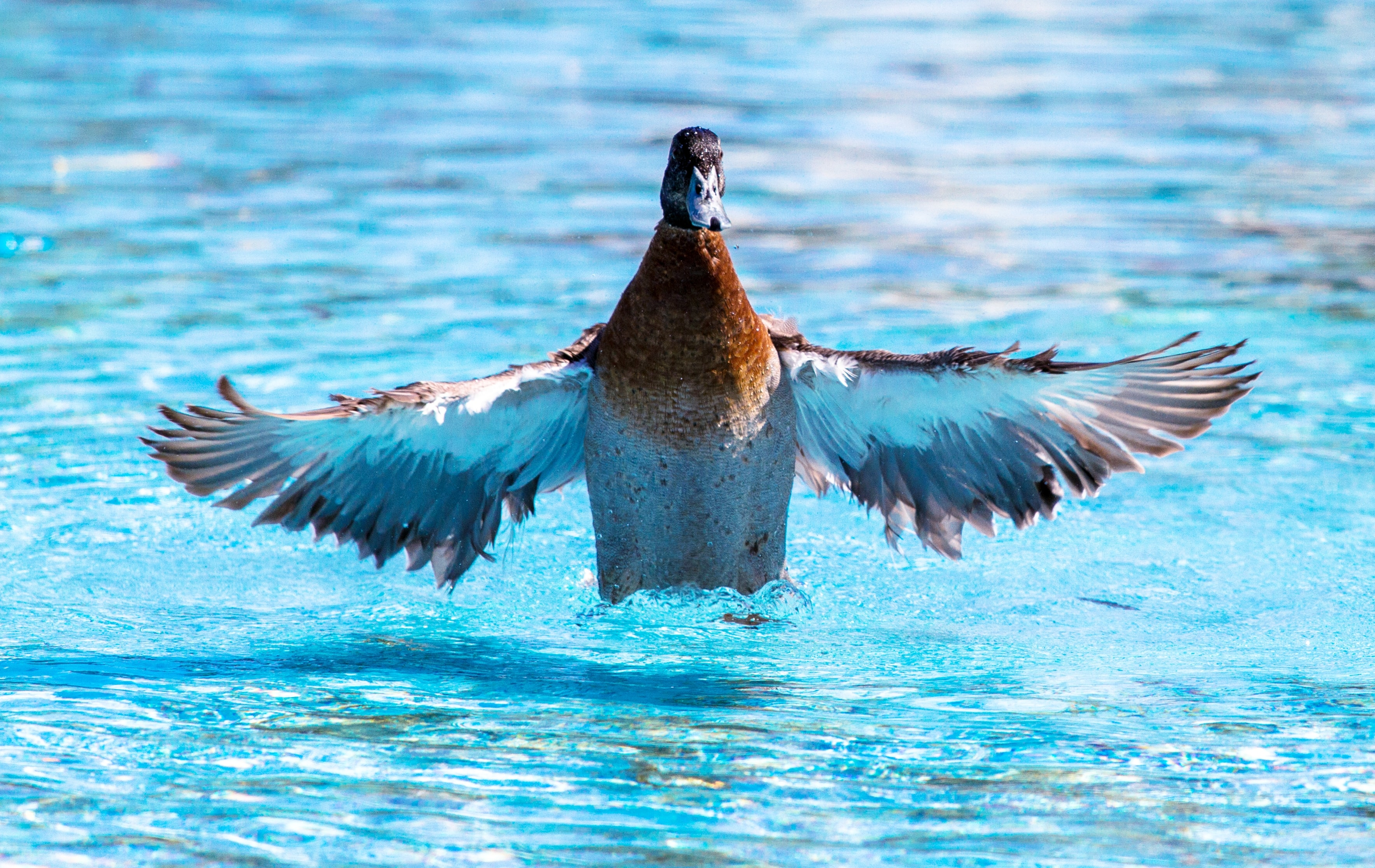 brown, gray, and white duck spreading wings while on top the water at daytime