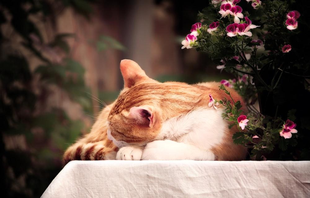 orange tabby cat laying beside pink petaled flower