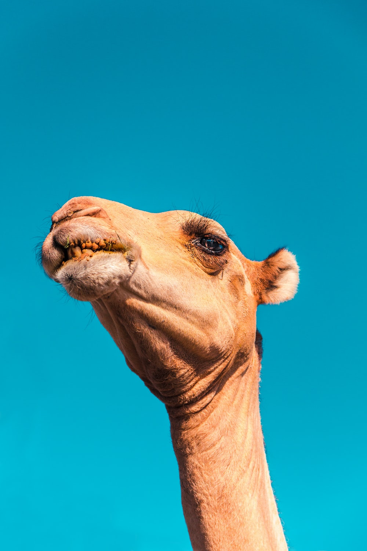 camel's head under clear sky