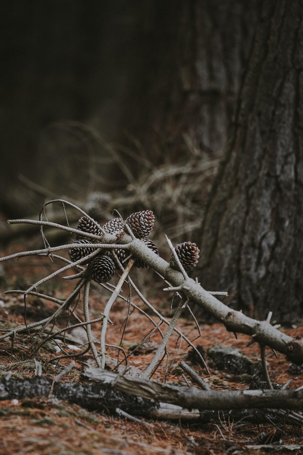 pine cones on dry leaves