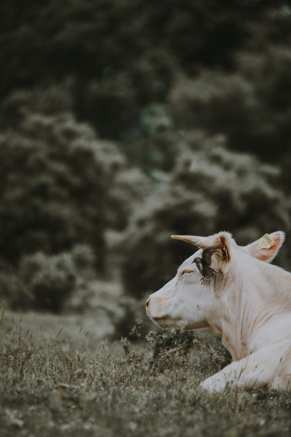 shallow focus photography of white cow on grass