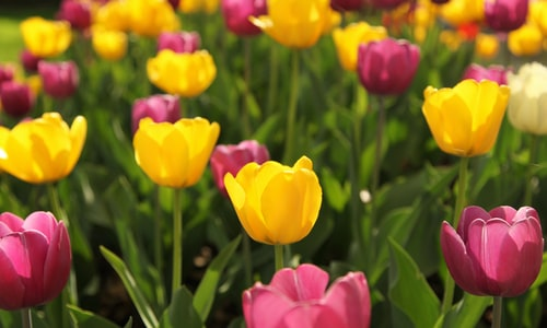 price tulips facts