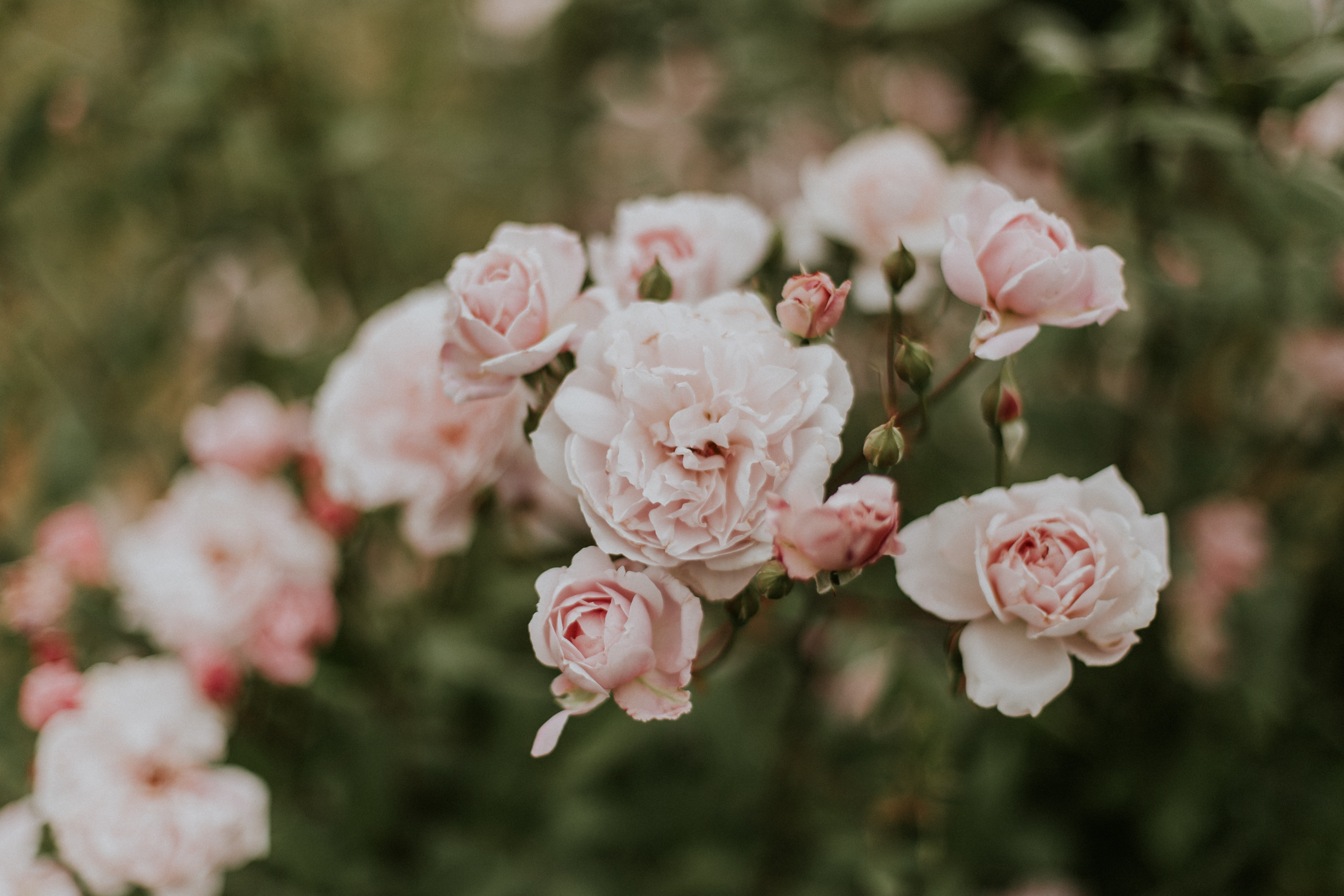 white-and-pink petaled flowers at daytime