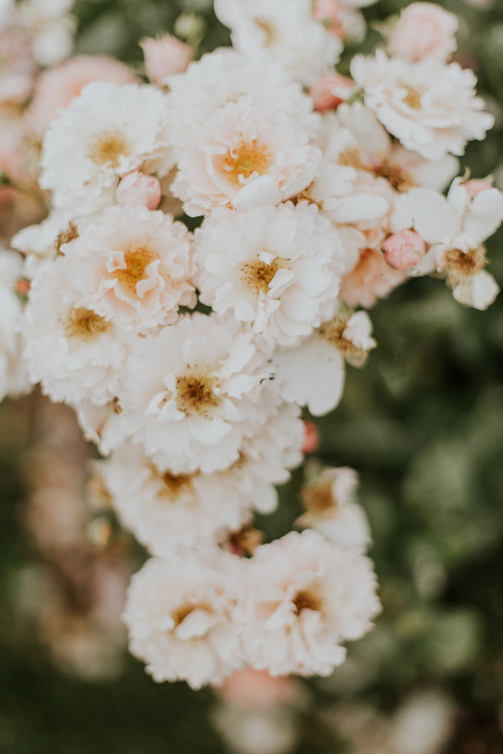 100 flower images hq download free flower pictures on unsplash white petaled flowers izmirmasajfo