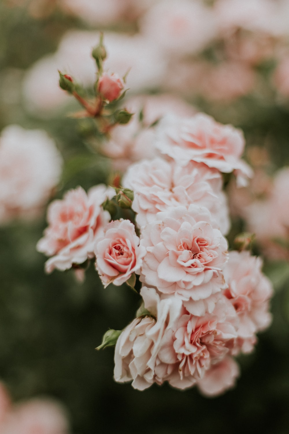 100 pink flower pictures download free images on unsplash pink flower pictures mightylinksfo