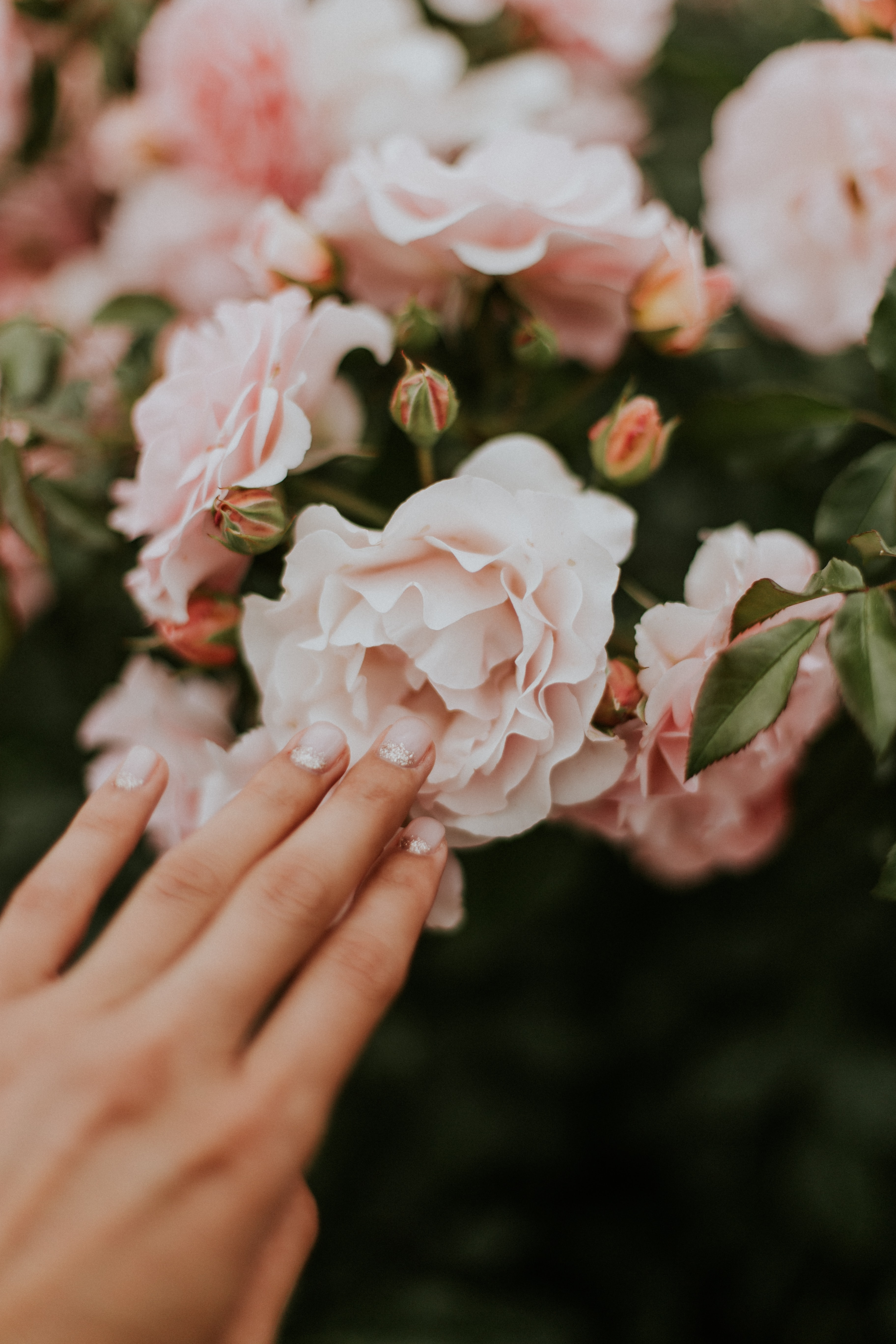 person holding white and pink clustered petaled flower