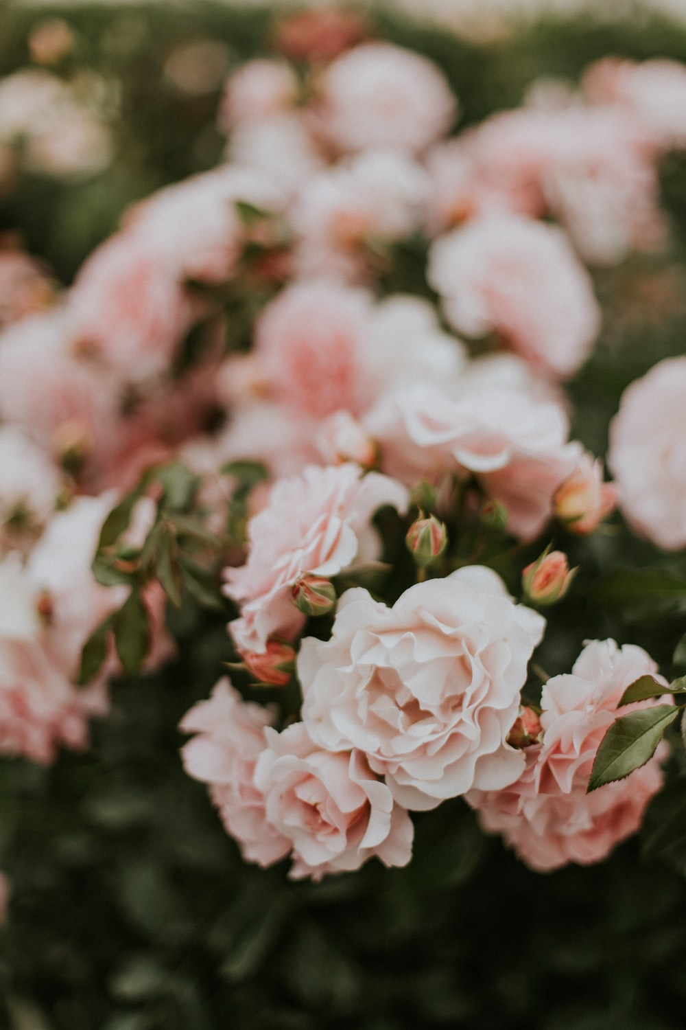 27 roses images download free images on unsplash pink petaled flowers mightylinksfo