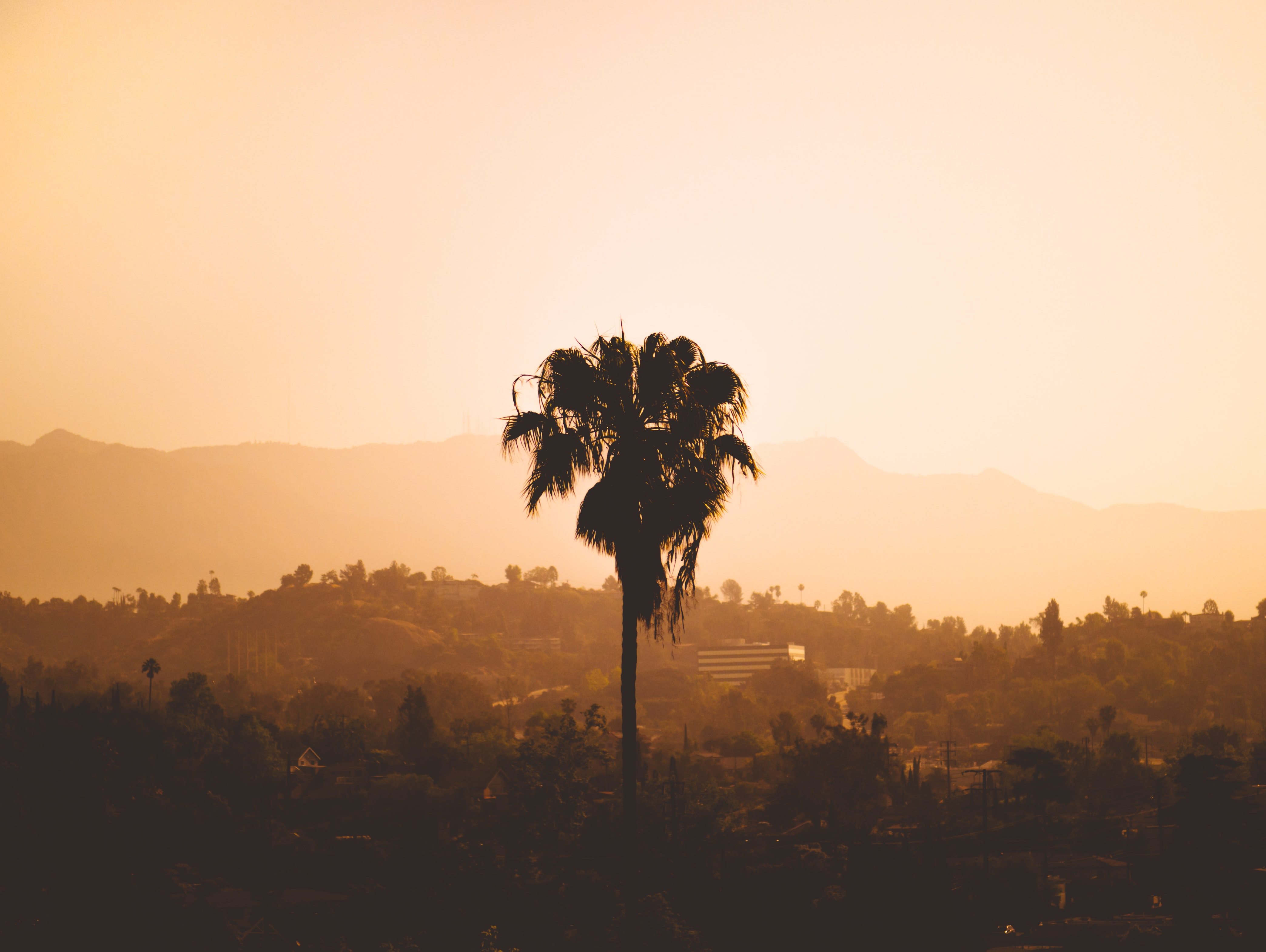 palm tree on sepia photography