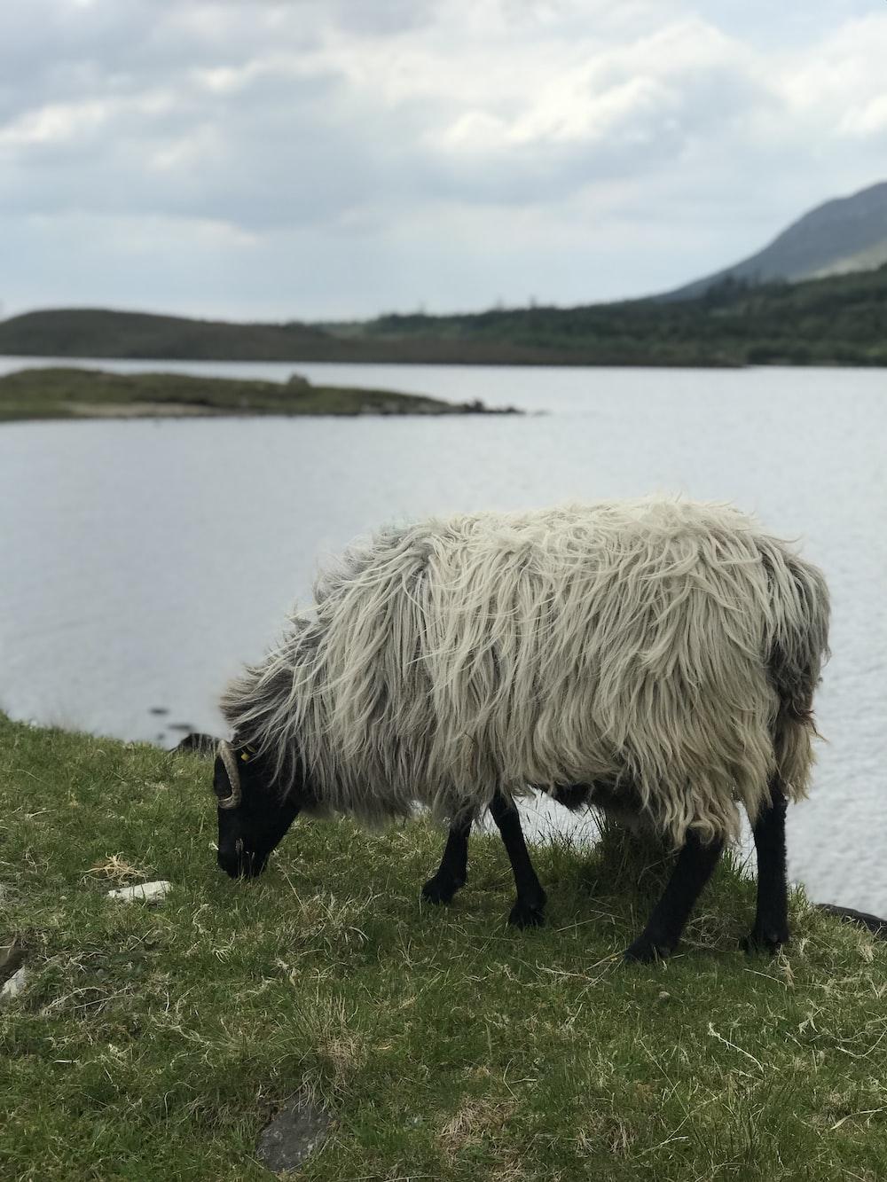 white and black sheep eating grass beside lake