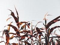 brown wheats