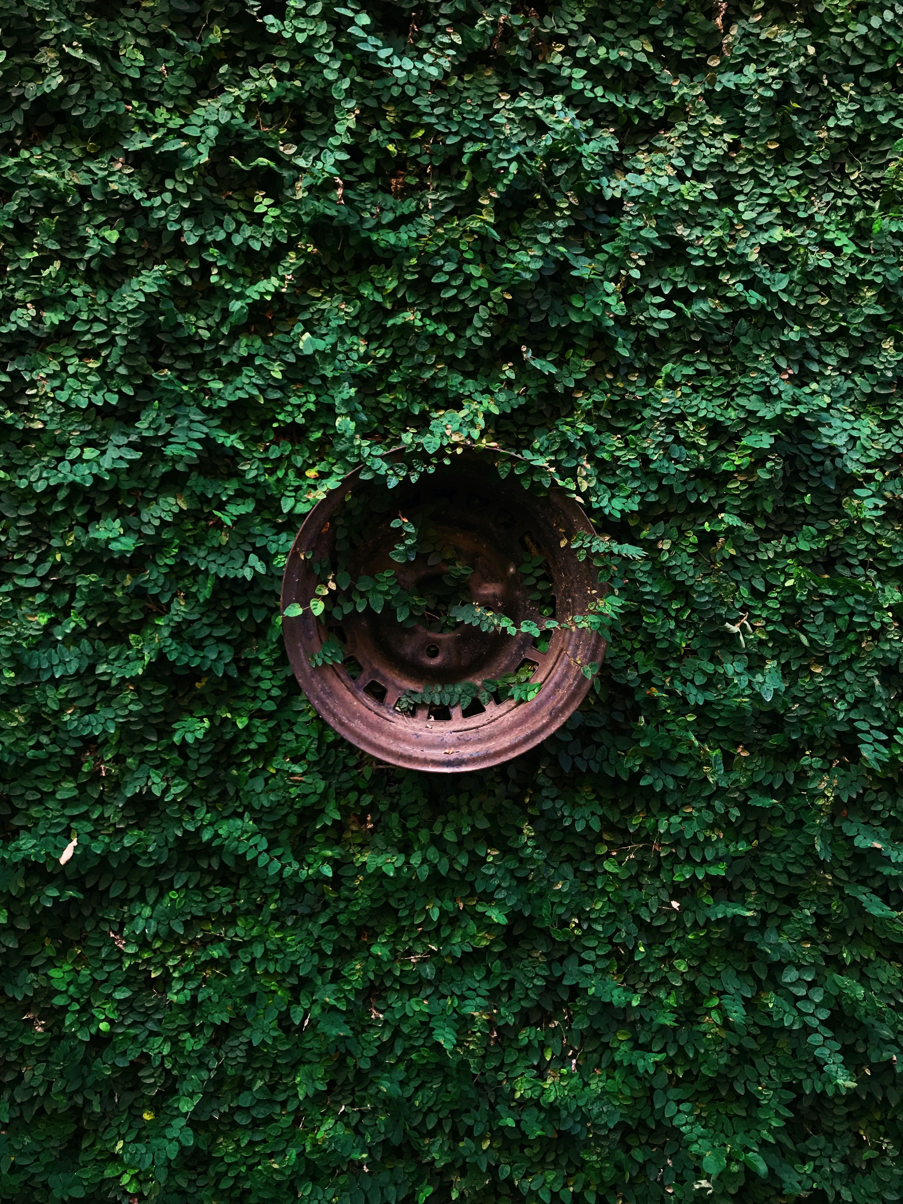 copper-colored vehicle wheel in wall covered with green leafed plants