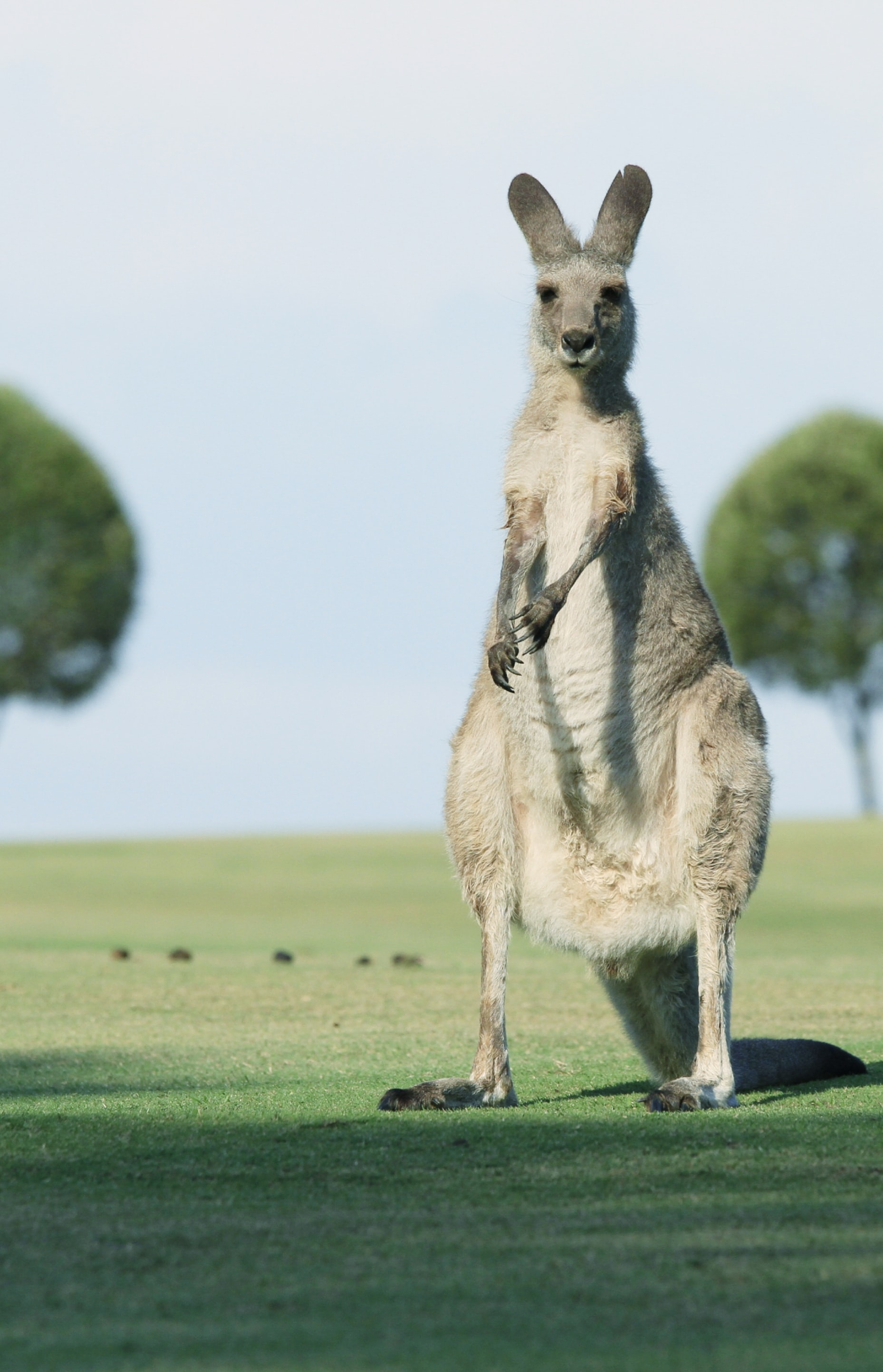 brown goat standing on green grass