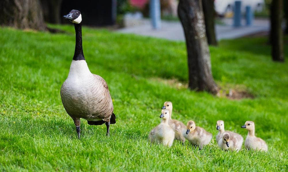 brown duck near ducklings