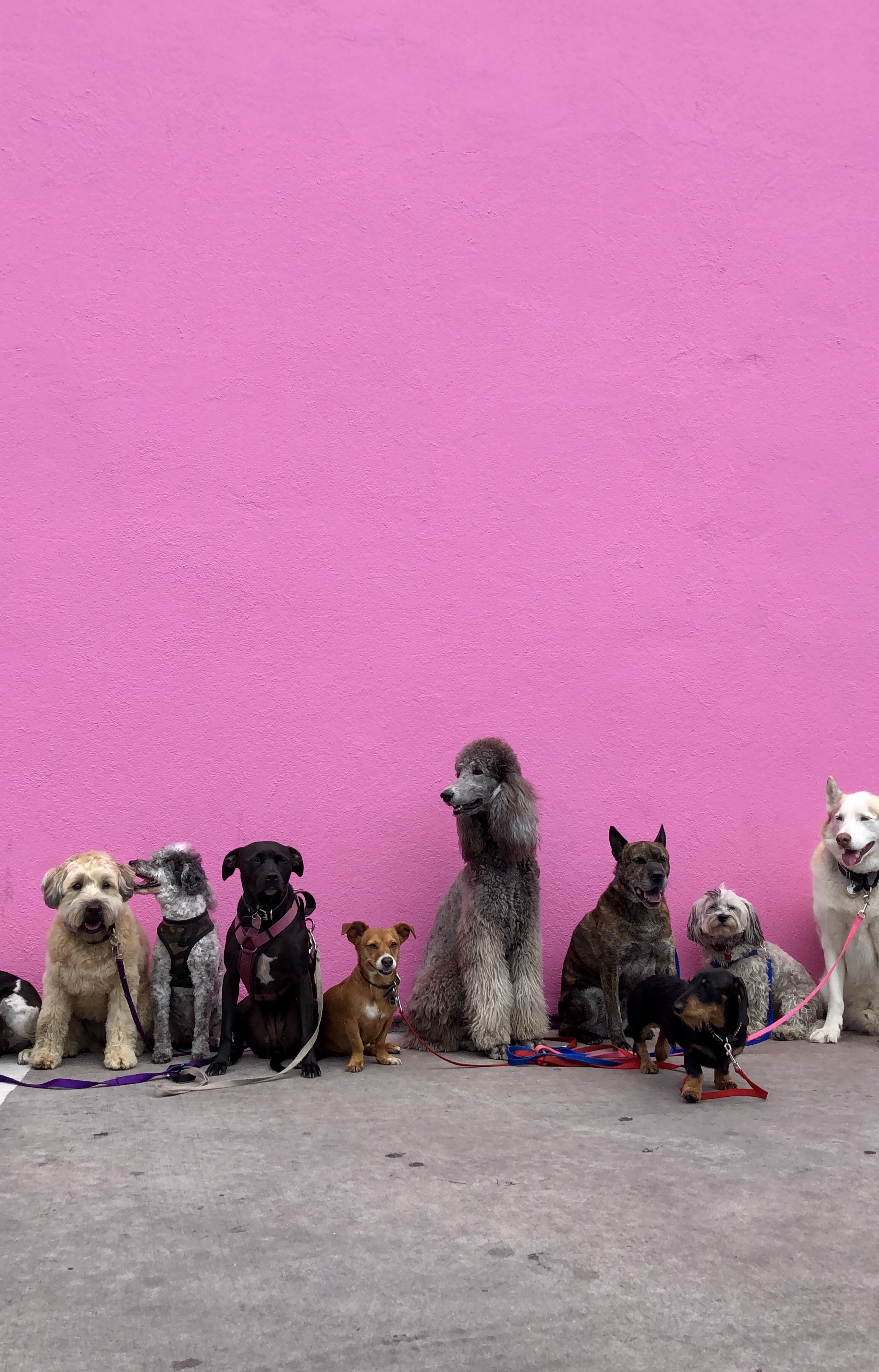 litter of dogs fall in line beside wall