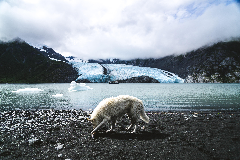 white wolf walking on land