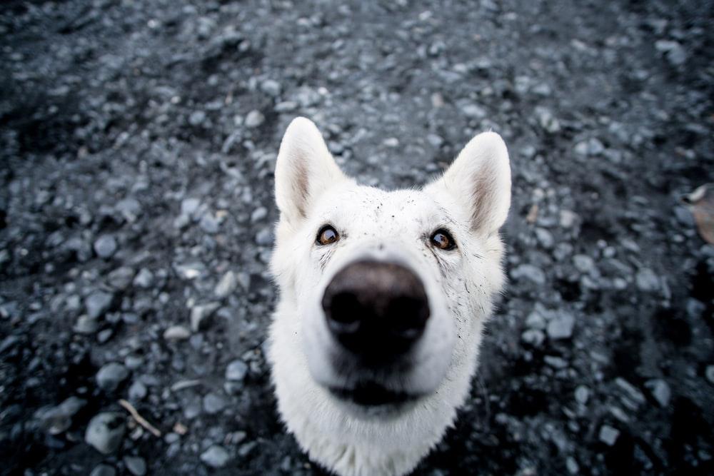 close up photo of adult white dog